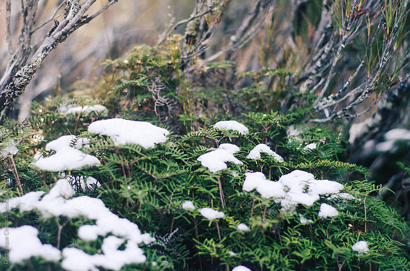 Snow covered trees and ferns  by Dominique Chapman for Stocksy United