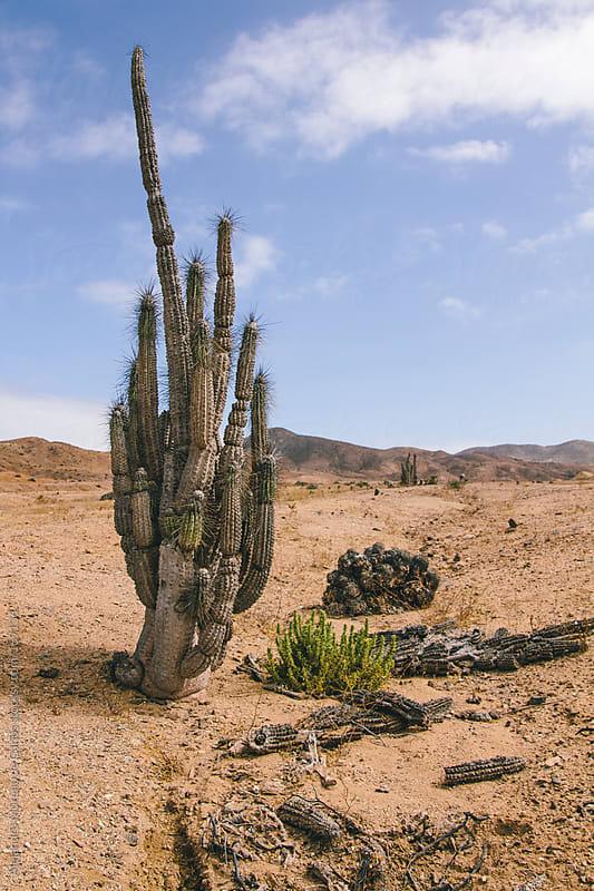 Cactus plant on desert, Atacama, Chile by Alejandro Moreno de Carlos for Stocksy United
