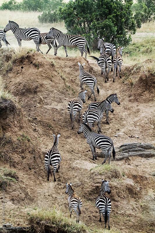 Zebras by Gabriel Ozon for Stocksy United