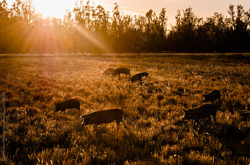 Free Range Pig Farm at Sunrise by Gary Radler Photography for Stocksy United