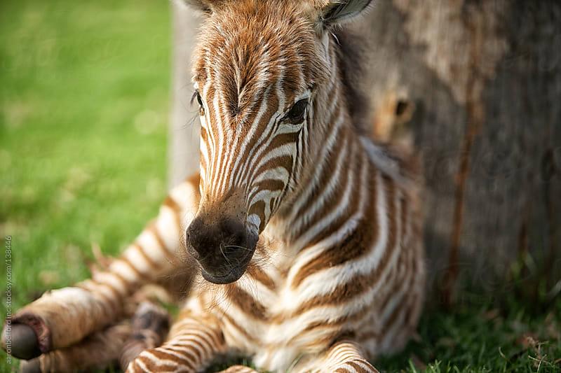 Baby Zebra by aaronbelford inc for Stocksy United