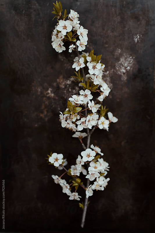 Cherry Blossom on a black background by Jovana Rikalo for Stocksy United