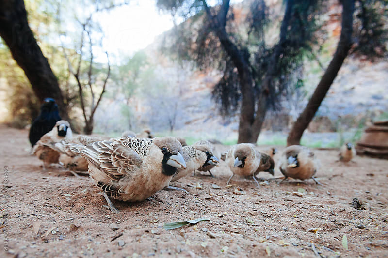 Sociable weaver birds eating seed on the ground by Micky Wiswedel for Stocksy United