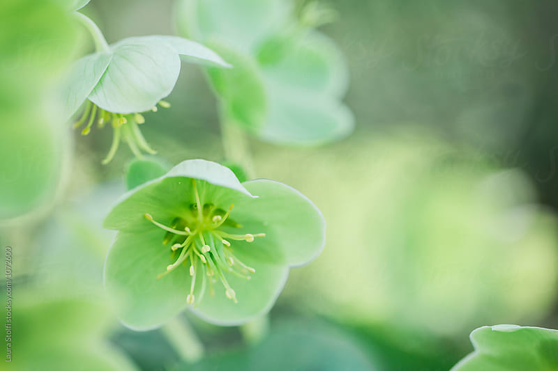 All green hellebores in flower in bright garden by Laura Stolfi for Stocksy United