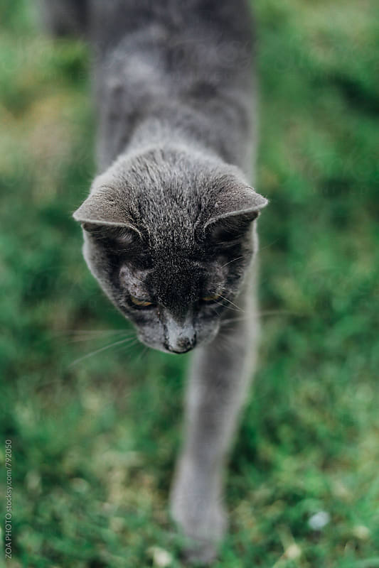 Cat walking by ZOA PHOTO for Stocksy United