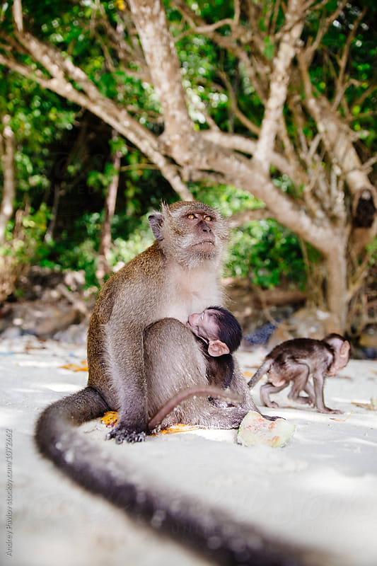 Monkey feeding baby on Monkey beach by Andrey Pavlov for Stocksy United