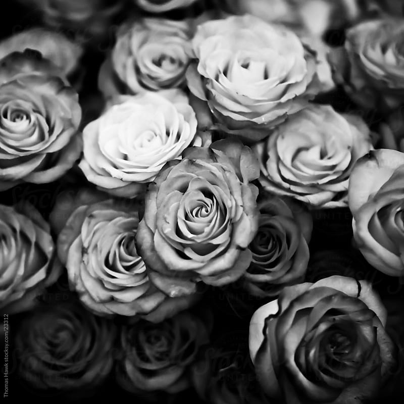 Roses in black and white by Thomas Hawk for Stocksy United