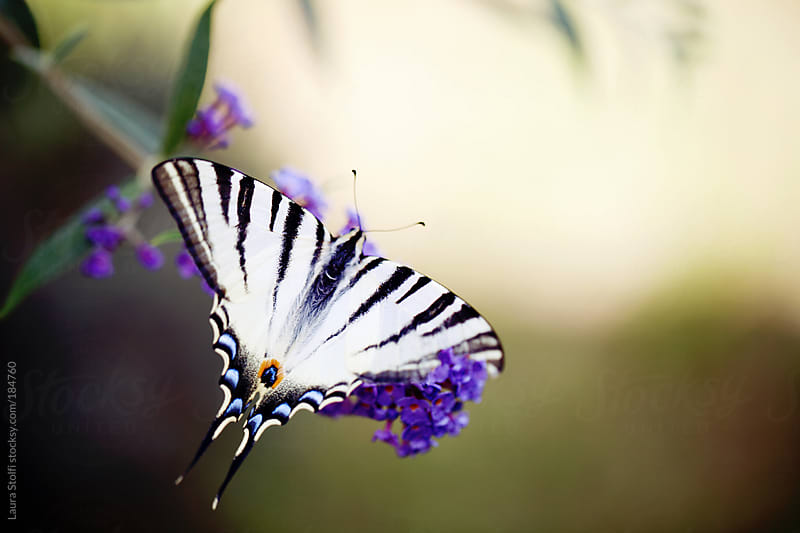 Close-up of Swallowtail butterfly on Buddleia flower by Laura Stolfi for Stocksy United