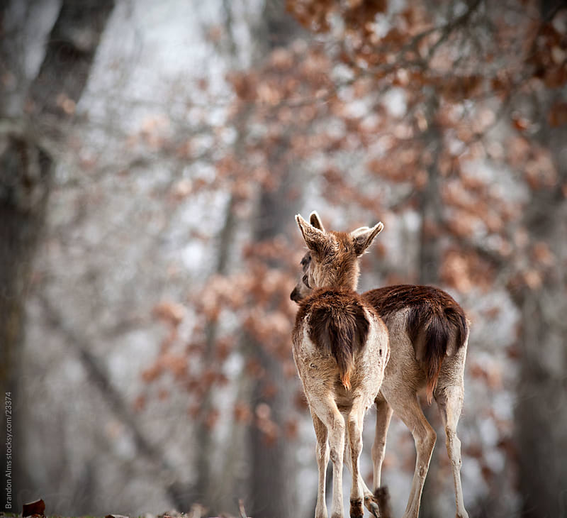 Two Deer Together in the Woods by Brandon Alms for Stocksy United