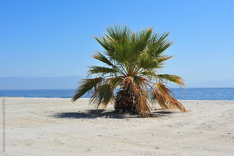 Salton Sea palm by Shannon Aston for Stocksy United