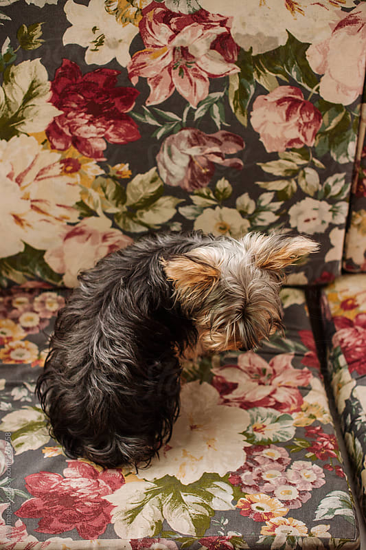 Cute dog sitting on floral sofa by Aila Images for Stocksy United