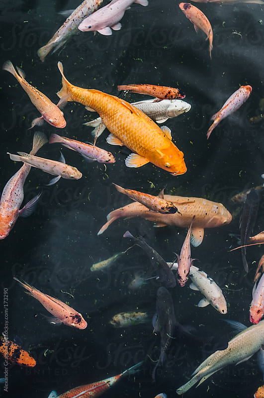 Asian Koi Fish In Pond by Alexander Grabchilev for Stocksy United