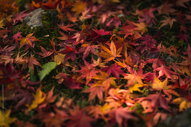Pile of Japanese Maple Leaves In Autumn by Leslie Taylor for Stocksy United