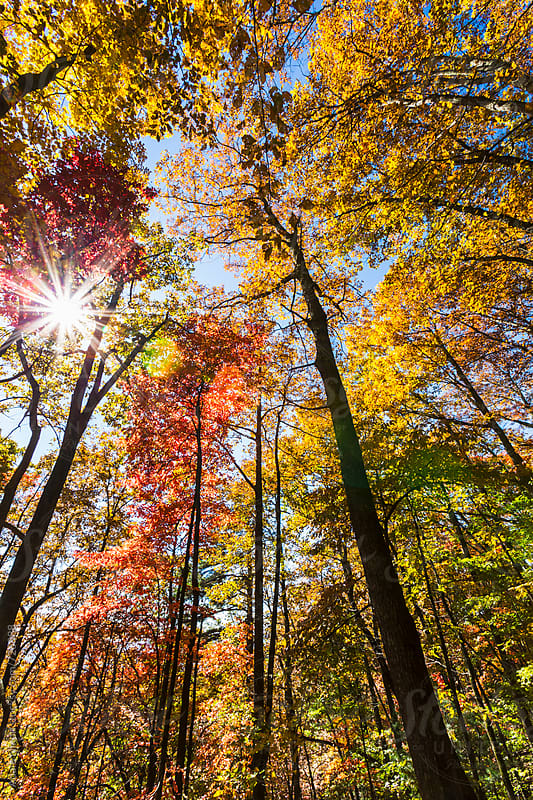 Sun shining through the colorful fall trees by Adam Nixon for Stocksy United