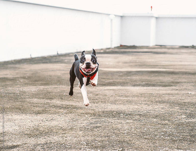 Cute Boston terrier running toward his owner. by Jovo Jovanovic for Stocksy United