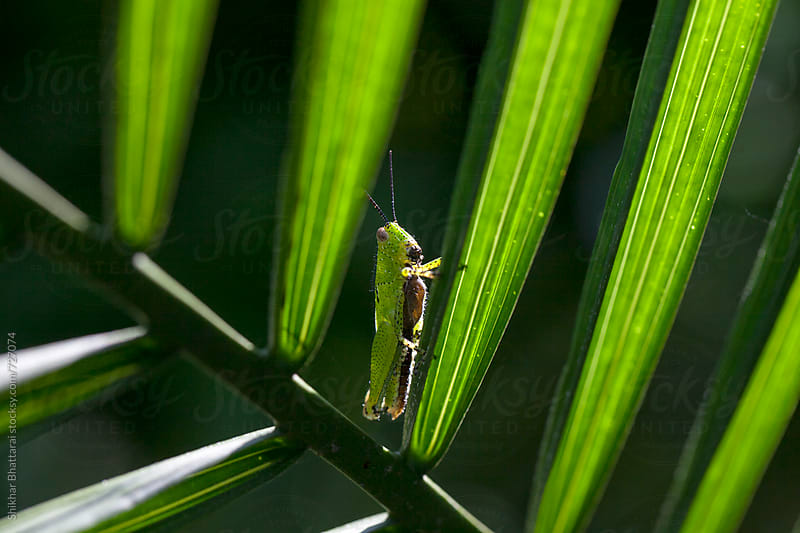 Close up of a grasshopper on a palm leaf. by Shikhar Bhattarai for Stocksy United