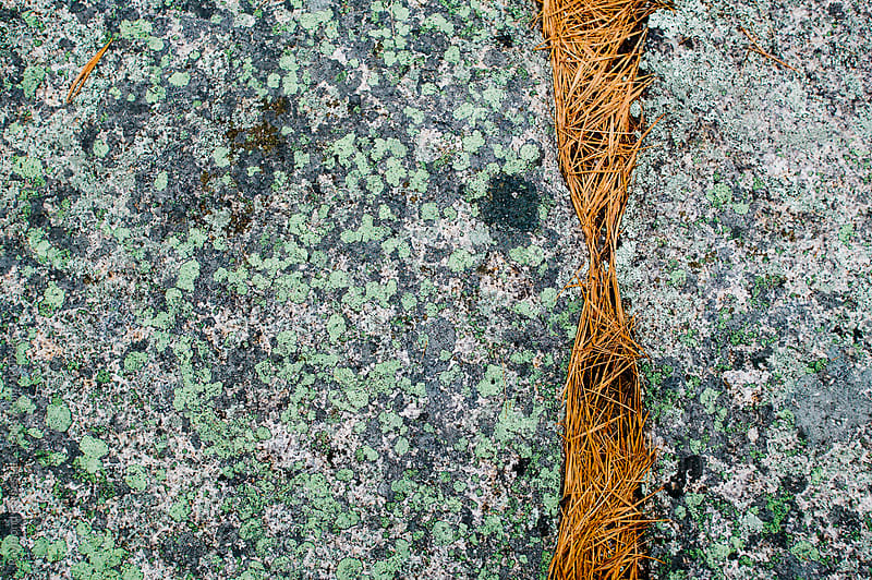 Pine Needle Crack Acadia National Park by Raymond Forbes LLC for Stocksy United