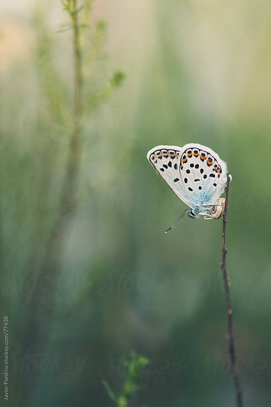 butterfly on a plant  by Javier Pardina for Stocksy United