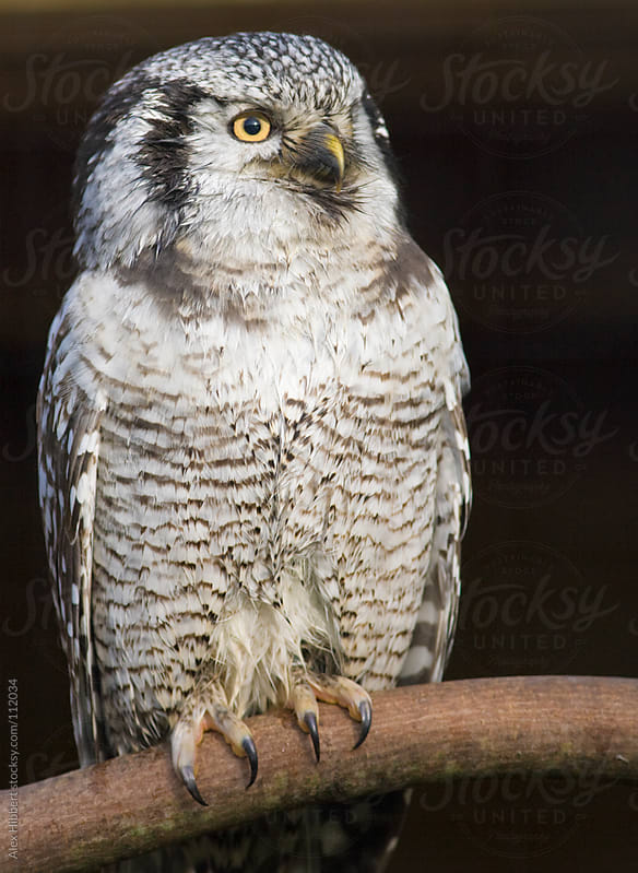 Northern Hawk Owl by Alex Hibbert for Stocksy United