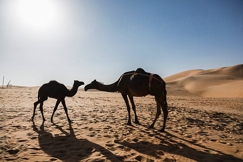 Camels in the Desert,  United Arab Emirates by Mauro Grigollo for Stocksy United