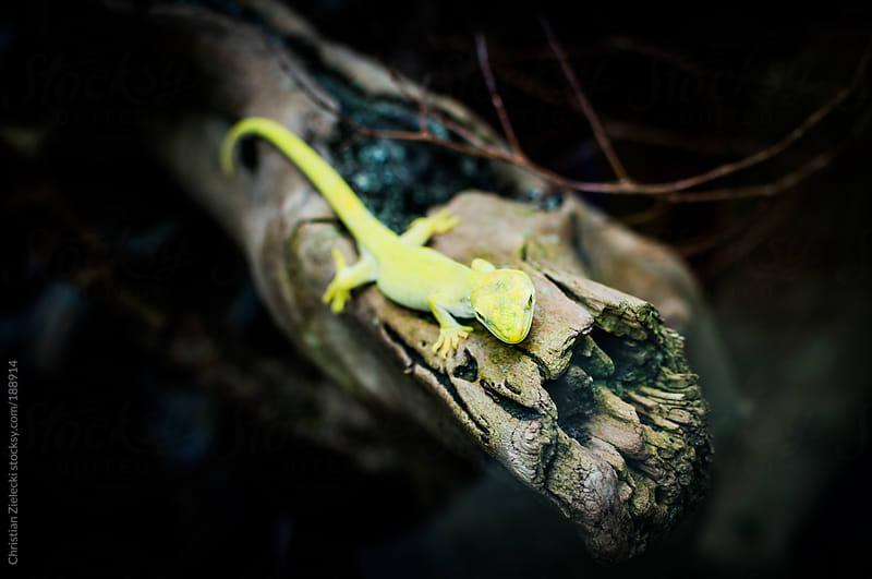 Lizard sitting on a branch by Christian Zielecki for Stocksy United
