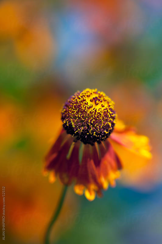 Sneezeweed by alan shapiro for Stocksy United
