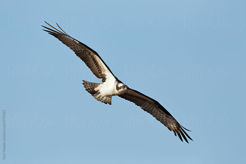 Osprey by Paul Tessier for Stocksy United