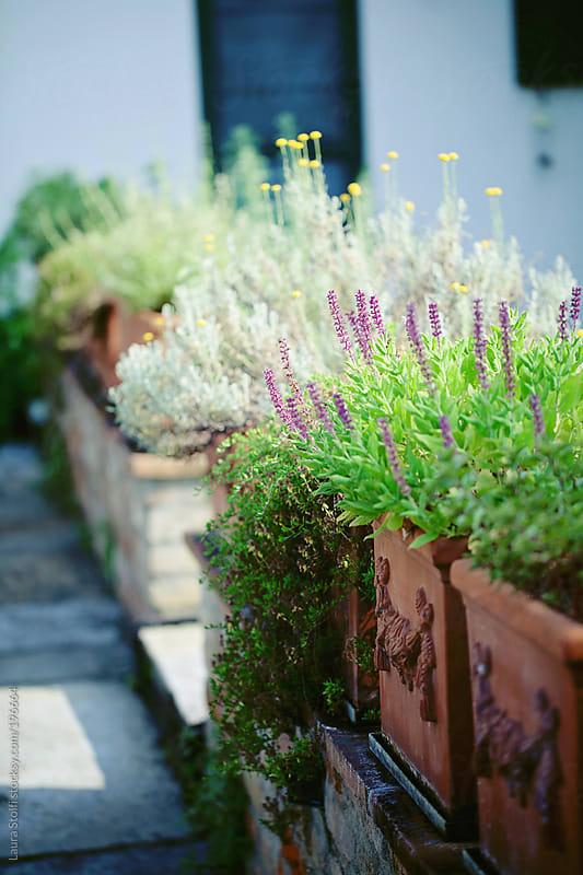 Cultivating aromatic herbs in old clay pots in the front yard by Laura Stolfi for Stocksy United