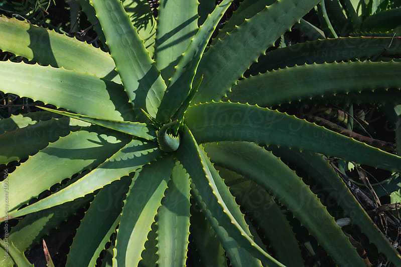 Aloe vera  by Mauro Grigollo for Stocksy United