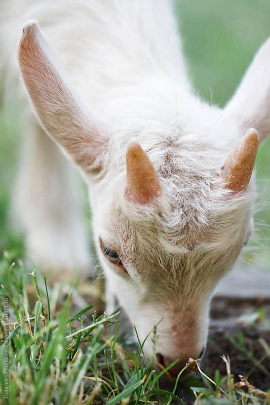 Baby Goat by Dobránska Renáta for Stocksy United