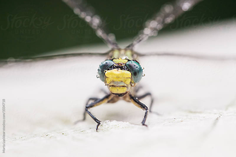 Macro of a Dragonfly by Marta Locklear for Stocksy United