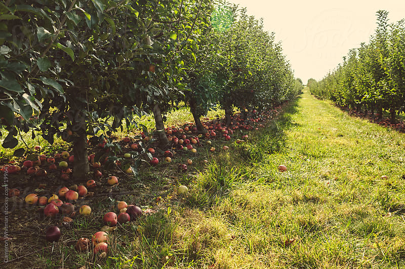 Apple Orchard by Cameron Whitman for Stocksy United