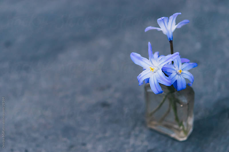 Tiny blue flowers in antique bottle by Deirdre Malfatto for Stocksy United