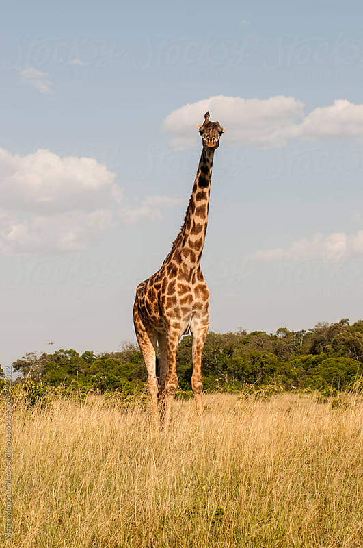 Wierd Giraffe with a single horn in Masai Mara National Reserve, Kenya by Marta Muñoz-Calero Calderon for Stocksy United