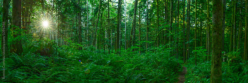 Lush Forest Panoramic With Incredible Detail by Ronnie Comeau for Stocksy United