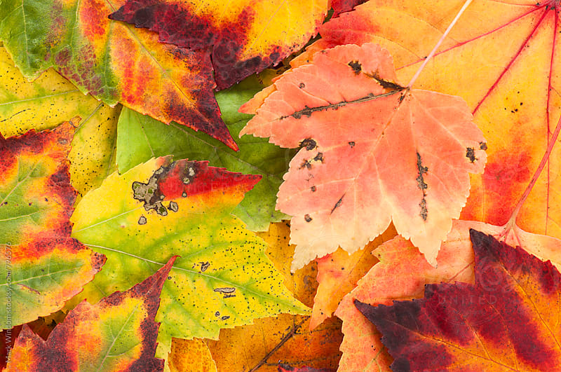 Colorful collection of Scarlet Maple leaves by Mark Windom for Stocksy United