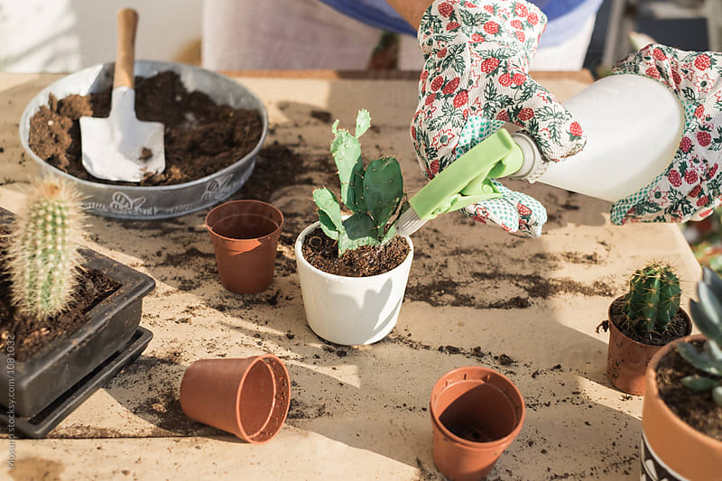 Gardener Watering Replanted Cactus by Mosuno for Stocksy United