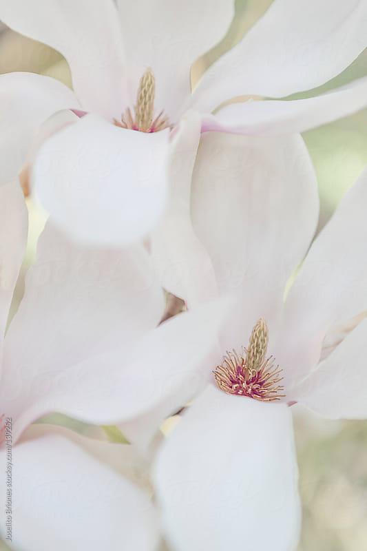 Magnolia Flowers on a Bright Day in Spring by Joselito Briones for Stocksy United