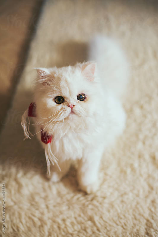 Cute persian cat looking at camera by Jovana Rikalo for Stocksy United