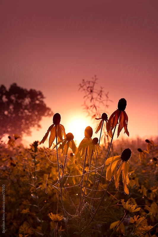 Sunrise Field of Coneflowers Covered in Dewy Spiderwebs by Brandon Alms for Stocksy United