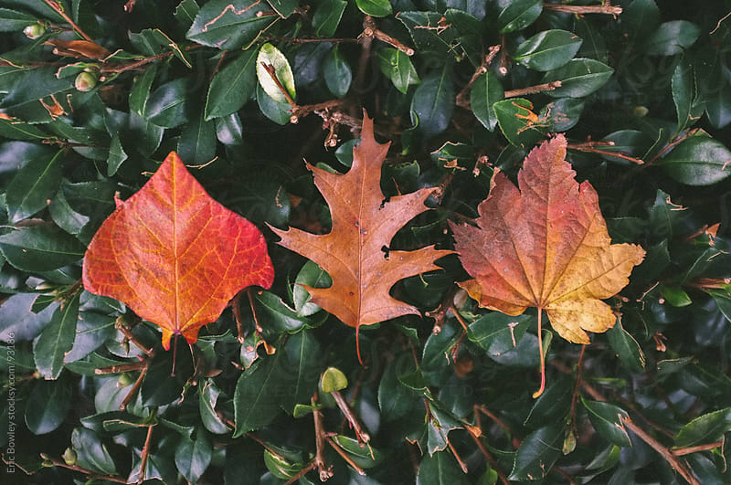 Three Leaves In Autumn by Eric Bowley for Stocksy United