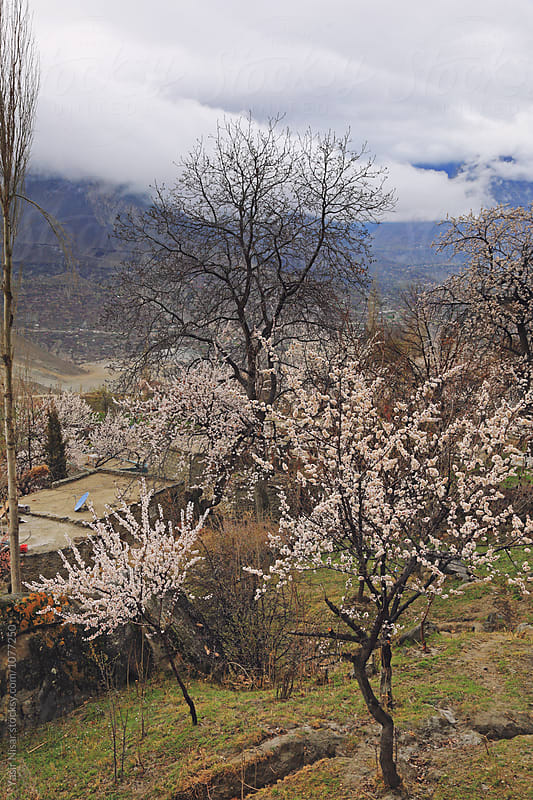 Blossom Tree with Mountain in the Background. by Yasir Nisar for Stocksy United