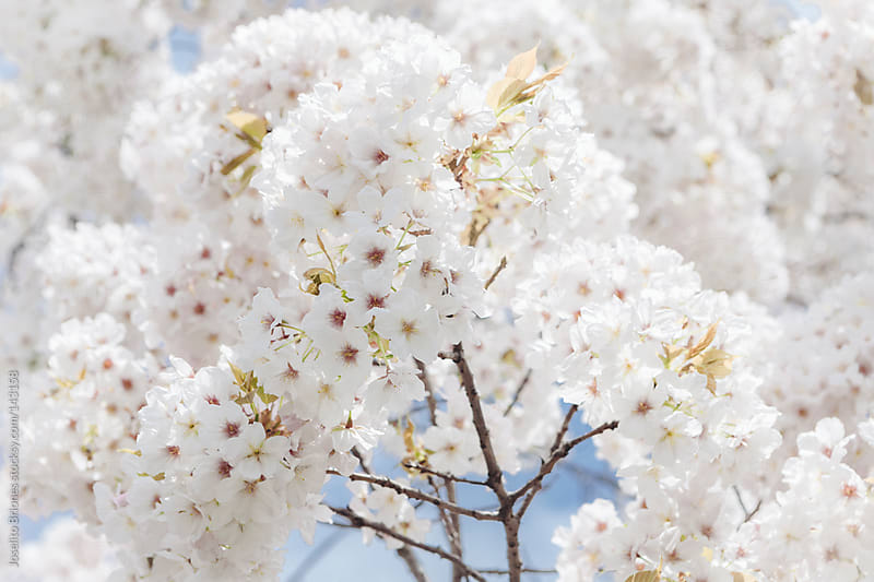 White Cherry Blossoms in Spring by Joselito Briones for Stocksy United
