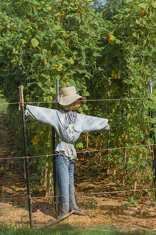 Scarecrow in front of green beans in a vegetable garden  by David Smart for Stocksy United