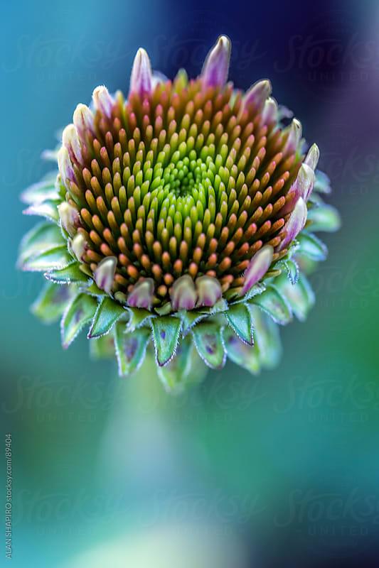 Echinacea (coneflower) by ALAN SHAPIRO for Stocksy United