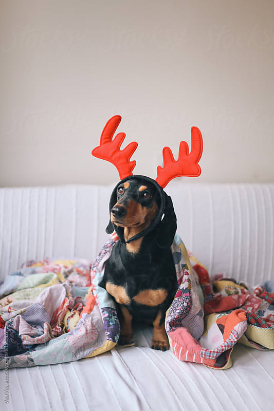 Adorable dachshund wearing reindeer horns  by VeaVea for Stocksy United