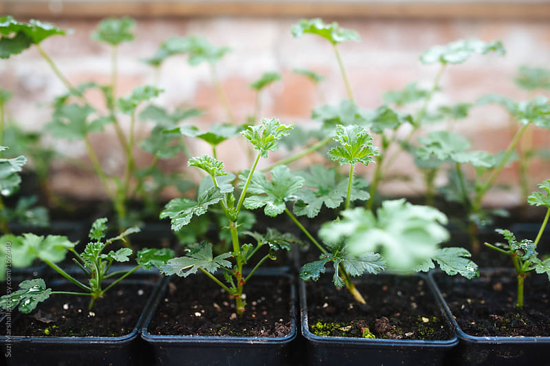 Geranium seedlings planted in pots by Suzi Marshall for Stocksy United