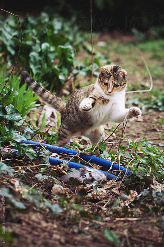 Tabby cat in garden jumps and attacks a dead pigeon by Laura Stolfi for Stocksy United