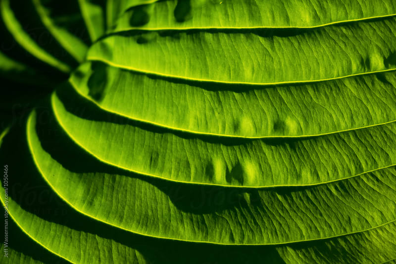 Hosta Plant by Jeff Wasserman for Stocksy United