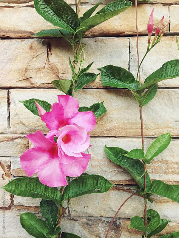 Pink Mandevillea in Bloom Grows on Stack Stone Column by Leigh Love for Stocksy United